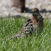 Greater Roadrunner <br /> Mari-Osa Boat Ramp Access <br /> Cole County