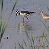 Black-necked Stilt <br /> and Lesser Yellowlegs <br /> Columbia Bottom Conservation Area