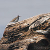 Spotted Sandpiper <br /> Lincoln Shields end of jetty <br /> Riverlands Migratory Bird Sanctuary