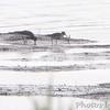 Dunlin <br /> Tricolor Heron Marsh <br /> Riverlands Migratory Bird Sanctuary