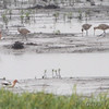 American Avocet and Marbled Godwit <br /> Tricolor Heron Marsh <br /> Riverlands Migratory Bird Sanctuary
