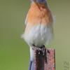 Eastern Bluebird <br /> Jefferson County