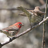 House Finches <br /> Jefferson County