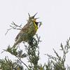 Eastern Meadowlark <br /> Jefferson County