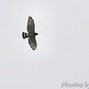 Broad-winged Hawk <br /> Jefferson County