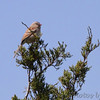 Field Sparrow <br /> Jefferson County