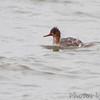 Red-breasted Merganser <br /> Teal Pond <br /> Riverlands Migratory Bird Sanctuary