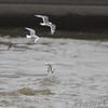 Bonaparte's Gulls<br />  Riverlands Migratory Bird Sanctuary