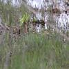 Virgina Rail <br /> Pintail Marsh <br /> Riverlands Migratory Bird Sanctuary