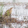 American Bittern <br /> Pintail Marsh <br /> Riverlands Migratory Bird Sanctuary