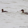 Red-breasted Mergansers <br /> Teal Pond <br /> Riverlands Migratory Bird Sanctuary