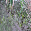 Find the American Bittern <br /> Pintail Marsh <br /> Riverlands Migratory Bird Sanctuary