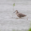 Willet <br /> Columbia Bottom Conservation Area