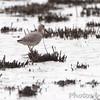 Willet <br /> Heron Pond <br /> Riverlands Migratory Bird Sanctuary <br /> 4/24/2012