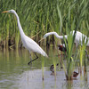 Great Egrets <br /> Columbia Bottom Conservation Area <br /> 4/24/2012