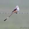 Scissor-tailed Flycatcher <br /> Dade County