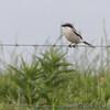 Loggerhead Shrike <br /> Dade County