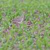 Upland Sandpiper <br /> Dade County