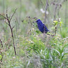 Blue Grosbeak <br /> Dade County