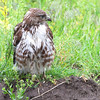Red-tailed Hawk <br /> Squaw Creek Natural Wildlife Refuge