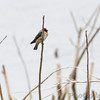 Barn Swallows and Tree Swallow <br /> Squaw Creek Natural Wildlife Refuge