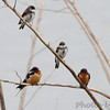 Barn Swallows and Bank Swallows <br /> Squaw Creek Natural Wildlife Refuge