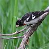 Rose-breasted Grosbeak <br /> Squaw Creek Natural Wildlife Refuge
