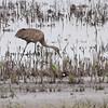 Sandhill Crane <br /> Squaw Creek Natural Wildlife Refuge
