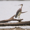 Tricolored Heron <br /> Lake 33 <br /> Busch Wildlife Conservation Area
