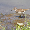 Solitary Sandpiper <br /> Sandy Slough - Winfield Dam