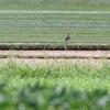 Upland Sandpiper <br /> Keetman Sod Farm