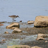 Spotted Sandpiper <br /> Sandy Slough - Winfield Dam