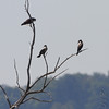 Osprey and Double-crested Cormorant <br /> James Hawn Access <br /> Carlyle Lake