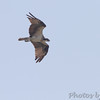 Osprey <br /> James Hawn Access <br /> Carlyle Lake