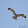 Red-shouldered Hawk <br />  Access 13 <br /> Smithville Lake