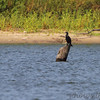 Neotropic Cormorant <br /> ~500 yards across from Access 14 <br /> Smithville Lake