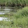 Least Bittern <br /> Heron Pond <br /> Riverlands Migratory Bird Sanctuary