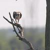 Osprey <br /> Lincoln Shields Area <br /> Riverlands Migratory Bird Sanctuary
