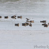 Stilt Sandpiper and Dowitcher sp. <br /> Heron Pond <br /> Riverlands Migratory Bird Sanctuary