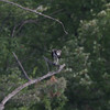 """Osprey  <br> Lincoln Shields Area  <br> Riverlands Migratory Bird Sanctuary <br><br><span class=""""noShowSmart""""> <a href=""""/MyKeywords/Bird-Videos/n-gF9bt/i-MHMCgQB/A""""> <span style=""""color:yellow"""">Click here to open video in lightbox/full screen</span></a> </span>  <span class=""""noShowGallery""""> <a href=""""/Birds/Birding-2012-August/2012-08-19-RMBS/i-vM4R82B/A""""> <span style=""""color:yellow"""">Click here to open video in lightbox/full screen</span></a> </span>"""