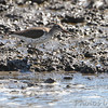 Spotted Sandpiper <br /> Heron Pond <br /> Riverlands Migratory Bird Sanctuary