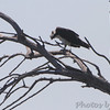 Osprey <br /> Heron Pond <br /> Riverlands Migratory Bird Sanctuary