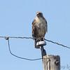 Red-tailed Hawk <br /> Heron Pond <br /> Riverlands Migratory Bird Sanctuary