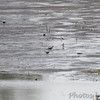 Sora's <br /> 10 can be seen in this photo  <br /> Heron Pond <br /> Riverlands Migratory Bird Sanctuary