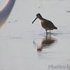 Short-billed Dowitcher  <br /> Heron Pond <br /> Riverlands Migratory Bird Sanctuary
