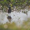 Wilson's Snipe <br /> Heron Pond <br /> Riverlands Migratory Bird Sanctuary