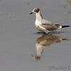 Franklin's Gull <br /> Sandy Slough - Winfield Dam