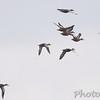 Blue-winged Teal <br /> Heron Pond <br /> Riverlands Migratory Bird Sanctuary
