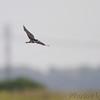 Black Tern <br /> Heron Pond <br /> Riverlands Migratory Bird Sanctuary
