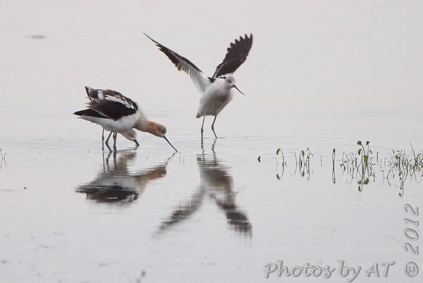 American Avocet  Heron Pond  Riverlands Migratory Bird Sanctuary